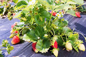 Abundant fruiting strawberries on a bed covered with black tape — Stock Photo
