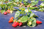 Small bush of strawberry with flowers and berries on a backgroun — Stock Photo