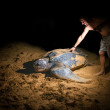 A man touches a large leatherback sea turtle — Stock Photo