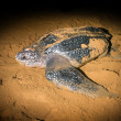 Leatherback Sea Turtle crawled ashore to lay their eggs — Stock Photo