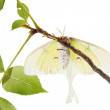 Stock Photo: Large moth Saturn Moon on branch, with view of abdomen