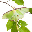 Very beautiful LunMoth (Actias luna) beech branch isolated on — Stock Photo #26569775