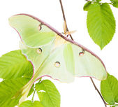 A Luna Moth (Actias luna) beech branch isolated on white backgro — Stockfoto