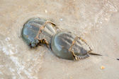 Female and male horseshoe crab (Limulus polyphemus) together on — Stock Photo