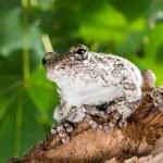 Portrait of a gray tree frog Hyla chrysoscelis versicolor in a — Stock Photo #28550235