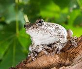 Portrait of a gray tree frog Hyla chrysoscelis versicolor in a — Stock Photo