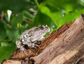 The gray tree frog Hyla chrysoscelis versicolor on a branch in — Stock Photo