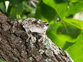 The gray tree frog Hyla chrysoscelis versicolor. A frog with a — Stock Photo