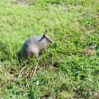 Nine-banded armadillo in meadow — Stock Photo #29605899
