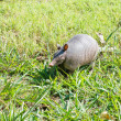 Nine-banded armadillo sniffing — Stock Photo #29605931