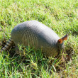 Nine-banded armadillo is searching for food — Stock Photo #29605933