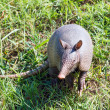 Portrait of a nine-banded armadillo — Stock Photo