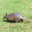 Nine-banded armadillo is lawn — Stock Photo #29605939