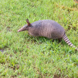 Nine-banded armadillo sniffing — Stock Photo