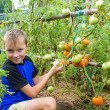 A boy collects tomatoes: what to take? — Stock Photo