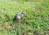 Nine-banded armadillo in the meadow — Stock Photo