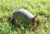 Nine-banded armadillo is searching for food — Stock Photo
