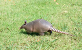 Nine-banded armadillo is the lawn — Stock Photo