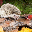 Hedgehog (Atelerix albiventris) on a log in a forest in autumn — Stock Photo