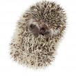 African pygmy hedgehog (Atelerix albiventris) — Stock Photo