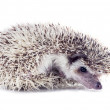 Angry hedgehog (Atelerix albiventris) unfolds from the tangle — Stock Photo