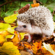 Hedgehog (Atelerix albiventris) walks with mushrooms — Stock Photo