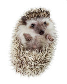 Hedgehog (Atelerix albiventris) unfolds from the tangle — Stock Photo