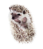 Funny hedgehog (Atelerix albiventris) watches from the tangle — Stock Photo