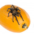 Oklahoma Brown tarantula  on the pumpkin — Stock Photo