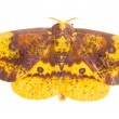 Stock Photo: Imperial Moth (Eacles imperialis)
