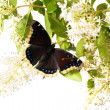 Stock Photo: Butterfly Mourning Cloak (Nymphalis antiopa)