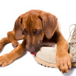Rhodesian ridgeback puppy licks his owner army boots — Stock Photo