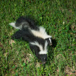 Two skunks on the ground — Stock Photo