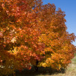 A number of maple trees with bright autumn foliage — Stock Photo