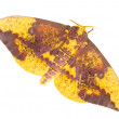 The Imperial Moth (Eacles imperialis) — Stock Photo #35003783
