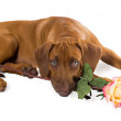 Rhodesian ridgeback puppy with flower roses — Stock Photo