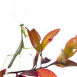 Carolina Mantis (Stagmomantis carolina - male) — Stock Photo