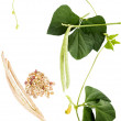 Plant beans: green and ripe pods, grains, flowers and leaves — Stock Photo