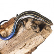 Stock Photo: The (American) five-lined skink (Plestiodon fasciatus)