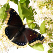 Butterfly Mourning Cloak (Nymphalis antiopa) — Stock Photo #35003921