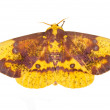 The Imperial Moth (Eacles imperialis) — Stock Photo #35003927