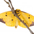Imperial Moth (Eacles imperialis) — Stock Photo #35003957