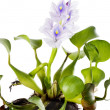Common Water Hyacinth (Eichhornicrassipes). — Stock Photo #35003959