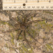 Large wall-mounted spider crab on the bark of a tree. — Stock Photo