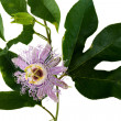 Stock Photo: Passionflower on white background