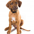 Curious two-month puppy Rhodesian Ridgeback  (Ridgeback) — Stock Photo