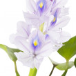 Common Water Hyacinth (Eichhornia crassipes). — Stock Photo