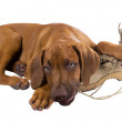 Funny Rhodesian Ridgeback puppy — Stock Photo
