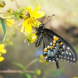 Just emerged from chrysalis butterfly Eastern Black Swallowtail — Stock Photo #35004051