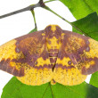 Imperial Moth (Eacles imperialis) — Stock Photo #35004073